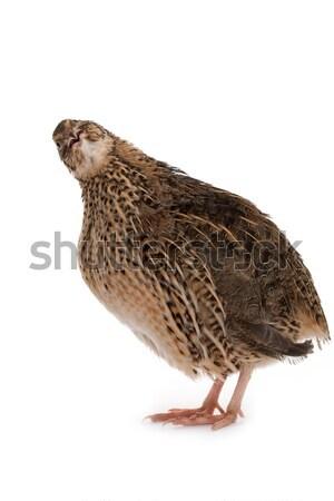 Stock photo: Japanese quail