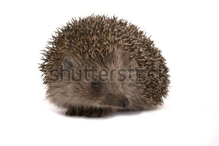 Hedgehog Stock photo © Goruppa