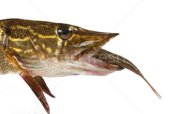 Grande predador água doce peixe esportes Foto stock © Goruppa