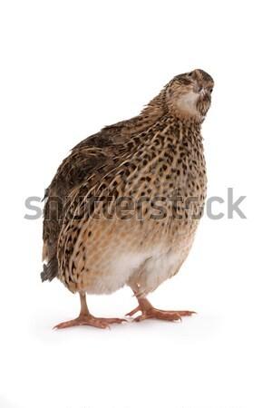 Japanese quail Stock photo © Goruppa