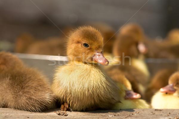 Misk ördek kümes hayvanları aile çiftlik Stok fotoğraf © Goruppa