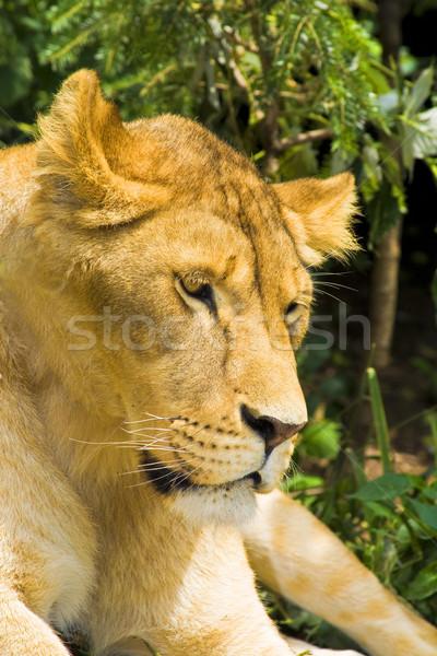 Сток-фото: лев · портрет · женщины · кошки · посмотреть