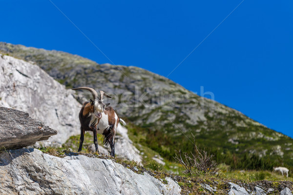 Goat in alps Stock photo © grafvision