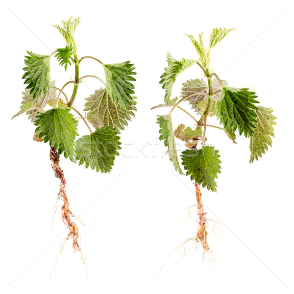 Stinging nettle Stock photo © grafvision