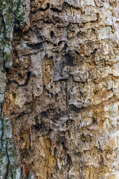 árbol corteza textura textura de madera edad naturaleza Foto stock © grafvision