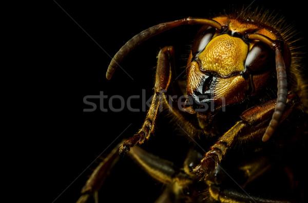 Hornet head Stock photo © grafvision