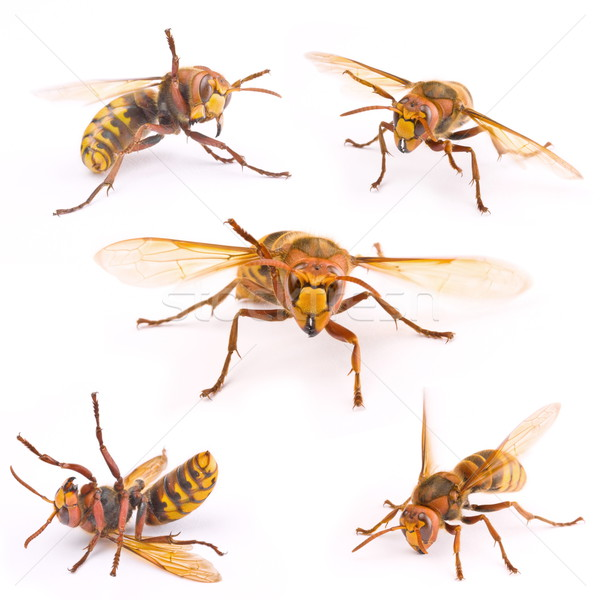 Europeu vespa macro imagem isolado branco Foto stock © grafvision