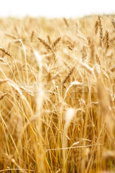 Búzamező fülek természet nyár mezőgazdaság gabona Stock fotó © grafvision