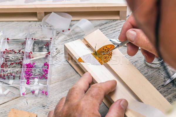 Pinning wild butterflies Stock photo © grafvision