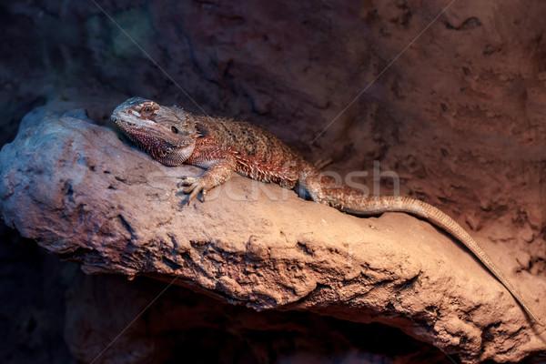 Foto stock: Barbudo · dragão · fundo · deserto · espaço · lagarto
