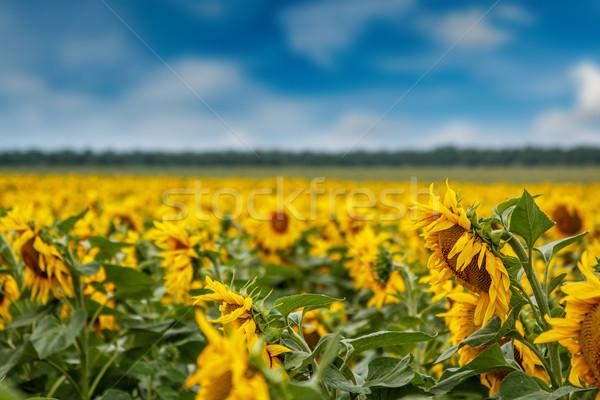 Girasol plantación hierba naturaleza Foto stock © grafvision