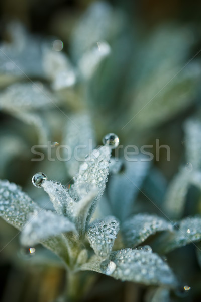 Plant with dewdrops Stock photo © grafvision