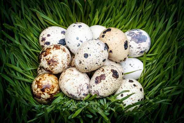 Spotted quail eggs Stock photo © grafvision