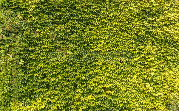 Feuilles vertes mur été temps fleur arbre Photo stock © grafvision