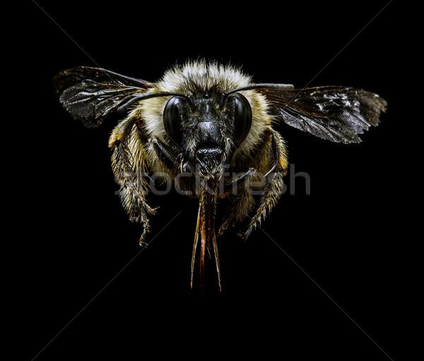 マルハナバチ 黒 自然 脚 動物 スタジオ ストックフォト © grafvision