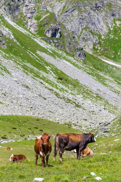 Inekler alpine çayır Avusturya alpler dağ Stok fotoğraf © grafvision