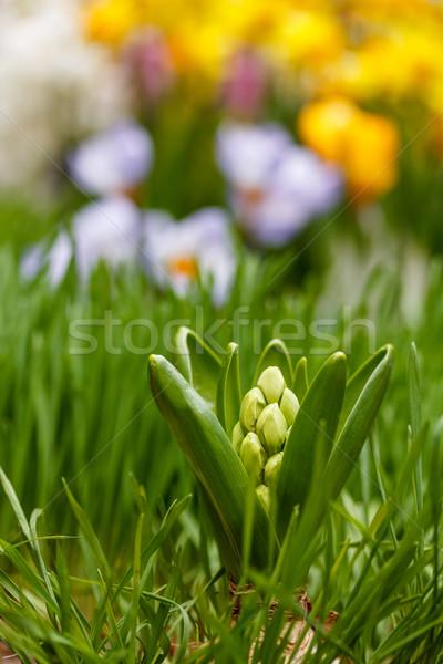 белый гиацинт бутон растущий саду весны Сток-фото © grafvision