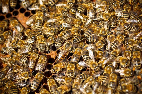 Stockfoto: Macro · shot · bijen · frame · werken · insect