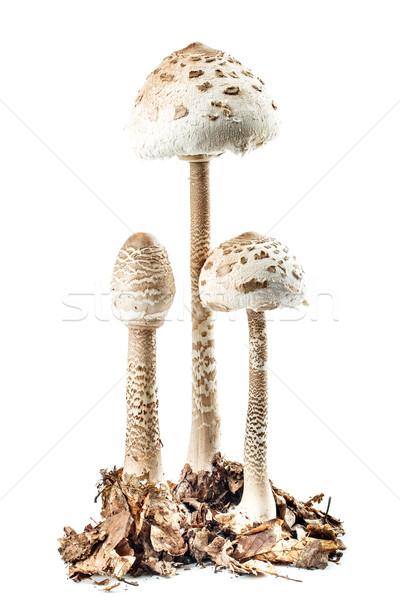 パラソル キノコ 孤立した 白 ストックフォト © grafvision
