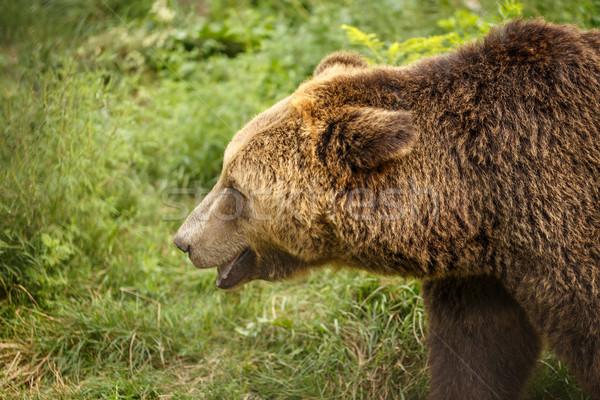 Bruine beer profiel hoofd bos beer Stockfoto © grafvision
