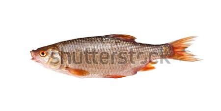 Roach rutilus rutilus Stock photo © grafvision