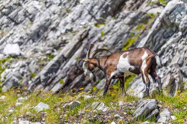 Alps goat Stock photo © grafvision