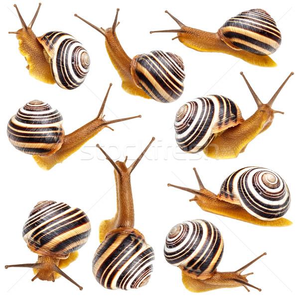 Set of the garden snail  Stock photo © grafvision