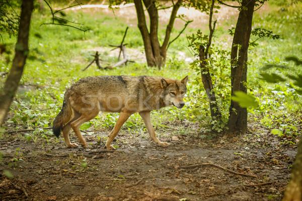 Lupo foresta natura uno fauna selvatica Foto d'archivio © grafvision