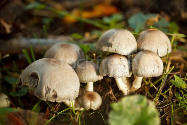 Stockfoto: Groep · champignons · vergiftige · paddestoel · bos · plant · vallen