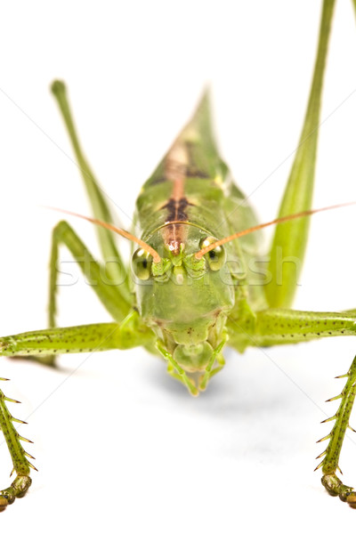 green locust  Stock photo © grafvision
