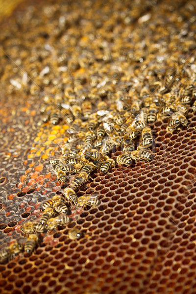 Honey cells  Stock photo © grafvision