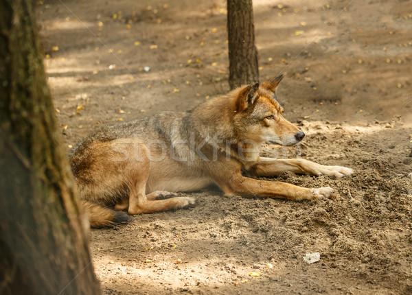 European wolf  Stock photo © grafvision