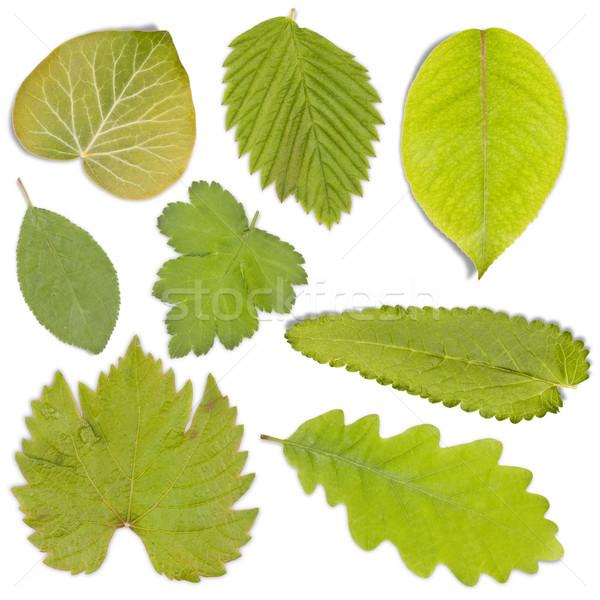 Ingesteld groen blad geïsoleerd witte zomer gezonde Stockfoto © grafvision