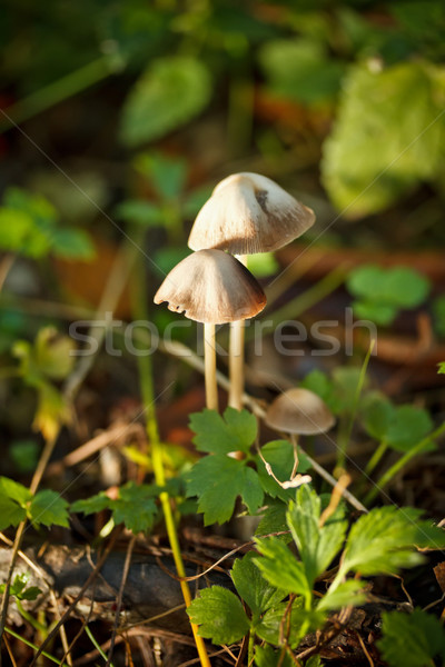 Wild mushrooms Stock photo © grafvision