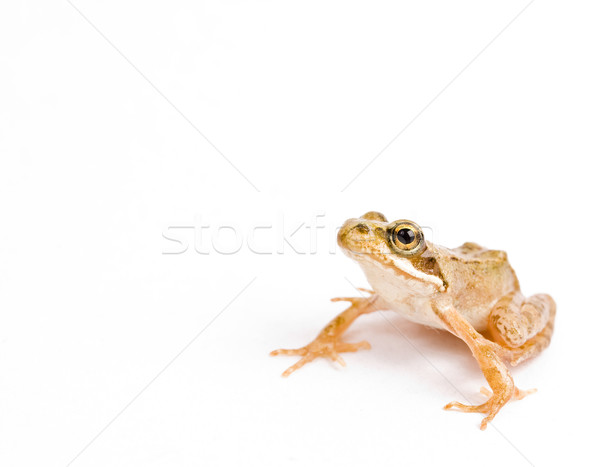 frog Stock photo © grafvision