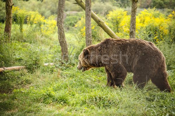 Wild Big Brown bear Stock photo © grafvision