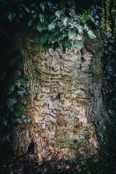 Groene klimop bladeren boom schors abstract Stockfoto © grafvision
