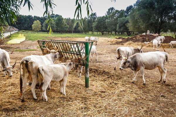 Húngaro cinza vacas animais de fazenda vaca animal Foto stock © grafvision