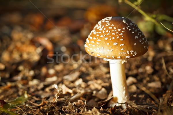 Vergiftige paddestoel bos champignons magie mooie macro Stockfoto © grafvision