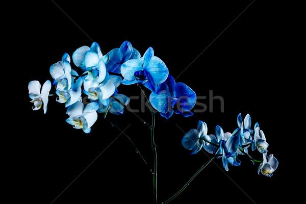 Orchid Stock photo © grafvision