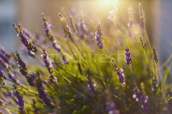 ラベンダー畑 日光 ラベンダー 花 太陽 ストックフォト © grafvision