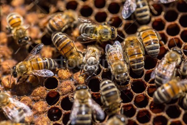 Naissance abeille en nid d'abeille Rechercher aile Photo stock © grafvision
