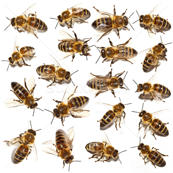 Stock photo: Bees collection
