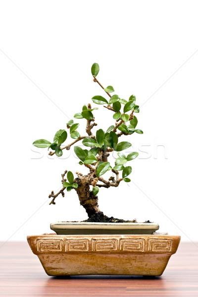 бонсай изолированный белый древесины лист жизни Сток-фото © grafvision