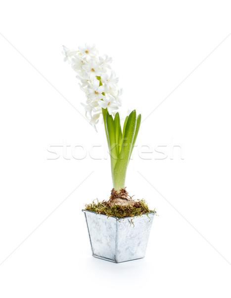 美しい 白 ヒヤシンス 孤立した イースター 金属 ストックフォト © grafvision