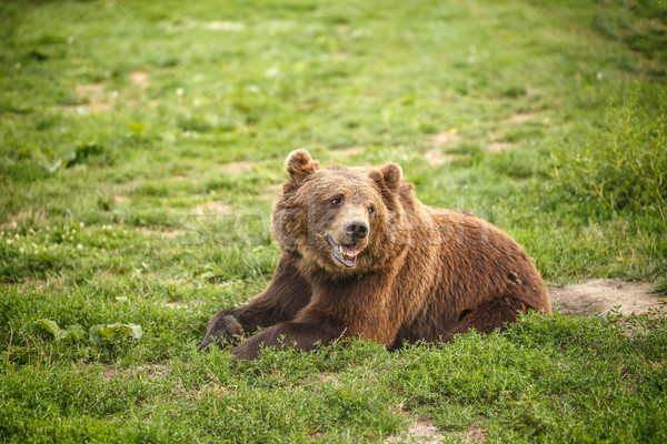 Europese bruine beer gras boom beer Stockfoto © grafvision