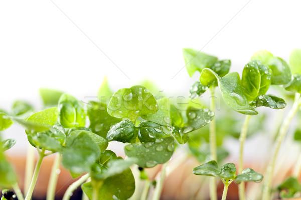 Basil seedlings Stock photo © grafvision