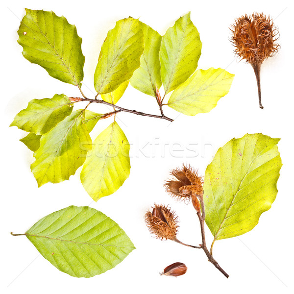 Collection of european beech leaves  Stock photo © grafvision