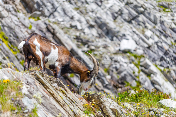 Alps goat Stock photo © grafvision