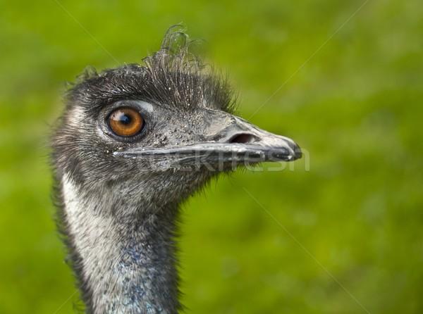 emu Stock photo © grafvision